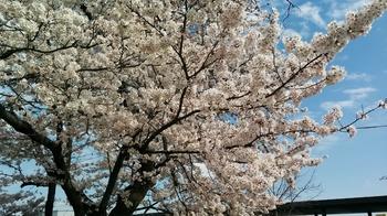 IMG_20170407_sakura.jpg